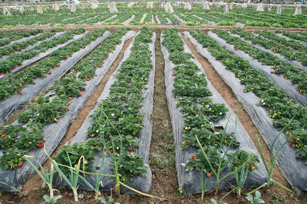 strawberry farm la trinidad benguet